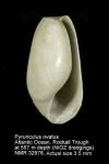 Pyrunculus ovatus