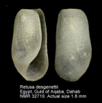 Retusidae
