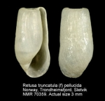 Retusa truncatula