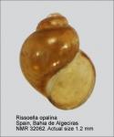 Rissoellidae