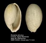 Scaphandridae