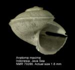 Anatoma maxima
