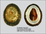 Scutellastra granularis
