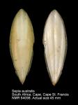 Sepia australis