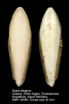 Sepia elegans