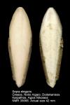 Sepiidae