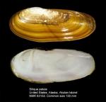 Siliqua patula