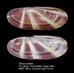 Siliqua radiata