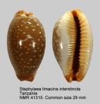 Staphylaea limacina interstincta