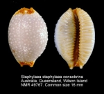Staphylaea staphylaea consobrina