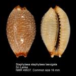 Staphylaea staphylaea laevigata