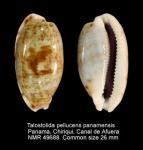 Talostolida pellucens panamensis