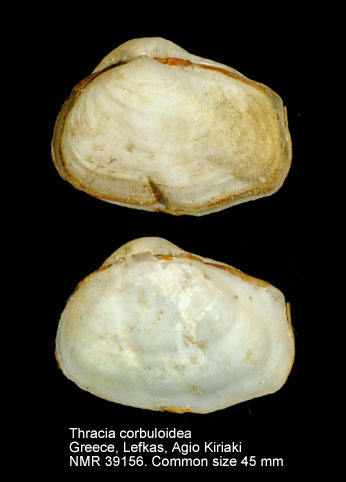 Thracia corbuloidea