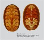Polyplacophora