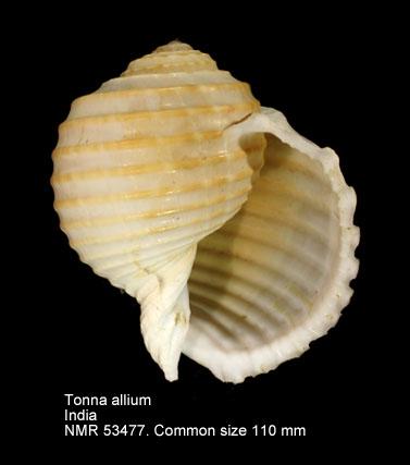 Tonna allium