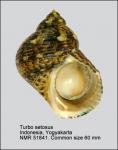 Turbo setosus