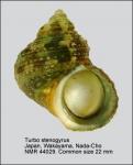 Turbo stenogyrus