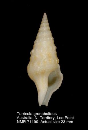 Turricula granobalteus