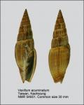 Vexillum acuminatum