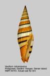 Vexillum citrinum
