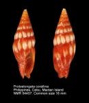Protoelongata corallina