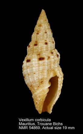 Vexillum corbicula