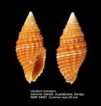 Vexillum (Pusia) crocatum
