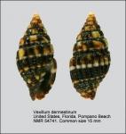 Vexillum (Pusia) dermestinum