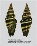 Vexillum (Vexillum) intermedium