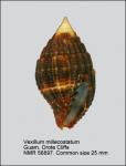 Vexillum (Pusia) millecostatum