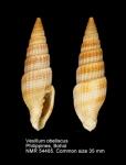 Vexillum (Costellaria) obeliscus