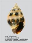 Vexillum (Pusia) pisolinum