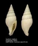 Vexillum rubellum
