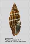 Vexillum (Costellaria) virgo