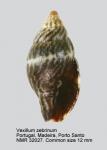 Vexillum (Pusia) zebrinum