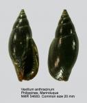 Vexillum anthracinum