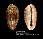 Zonaria picta