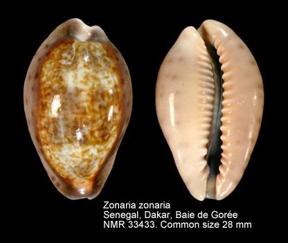 Zonaria zonaria