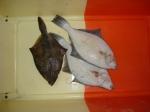 Flounder - Platichthys flesus