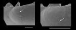Bornia aartseni Gofas, 2012  Prodissoconch of a paratype from Benalmádena, S. Spain (36º35.6'N, 04º30.9ºW, 5 m)