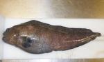 Anarhichas denticulatus
