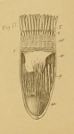 Cerianthus bathymetricus Mosley, 1877