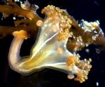 Stalked Medusa Haliclystus borealis