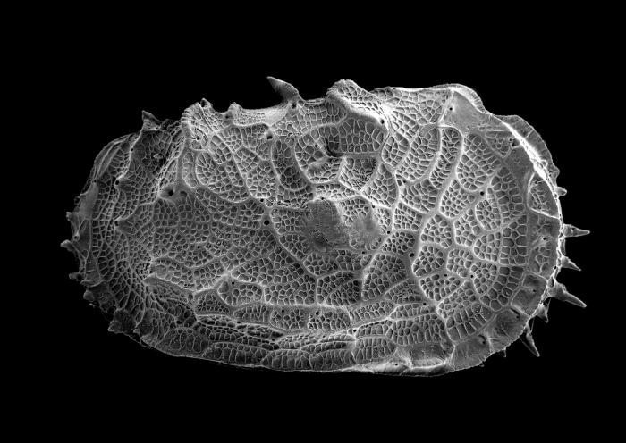 Holotype of the deep-sea Abyssocythere bensoni Brandão et al., 2016 (ostracod)