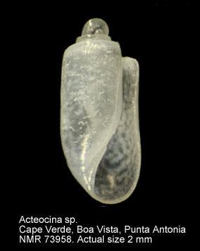 Acteocina knockeri