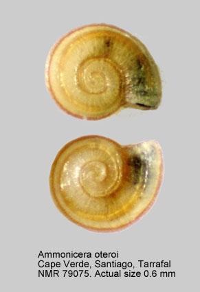 Ammonicera oteroi