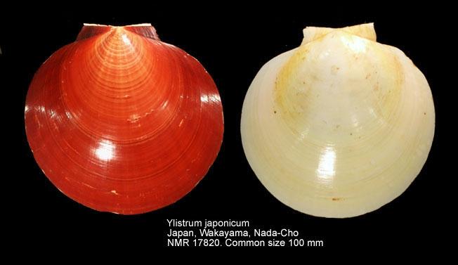 Ylistrum japonicum