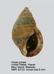 Angiola zonata