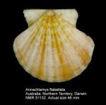 Annachlamys flabellata