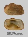 Arcopsis adamsi